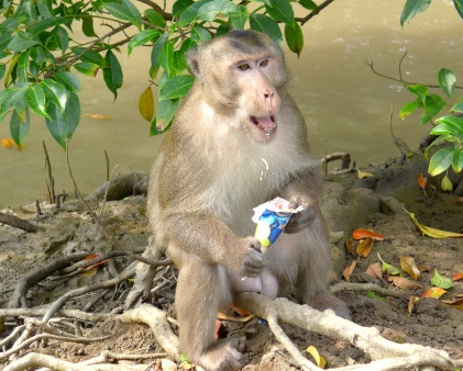 Fed daily by tourists, the monkeys on Can Gio have developed a borderline obsession with ice cream, chips, and soda, which can't be good for their evolutionary prospects.